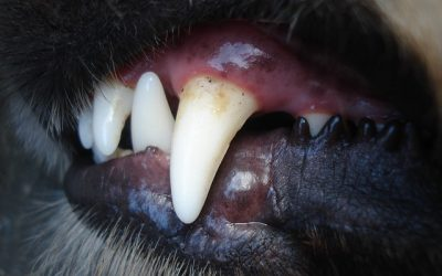 Taking Care of Your Pets – Pet Dental Health
