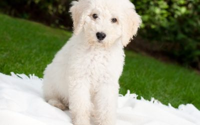 Pet Pail Breed Spotlight – The Labradoodle