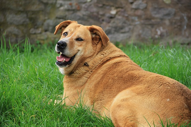 What to do to help your overweight dog