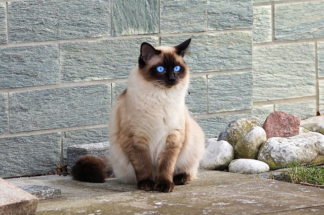 Breed Spotlight – The Siamese Cat